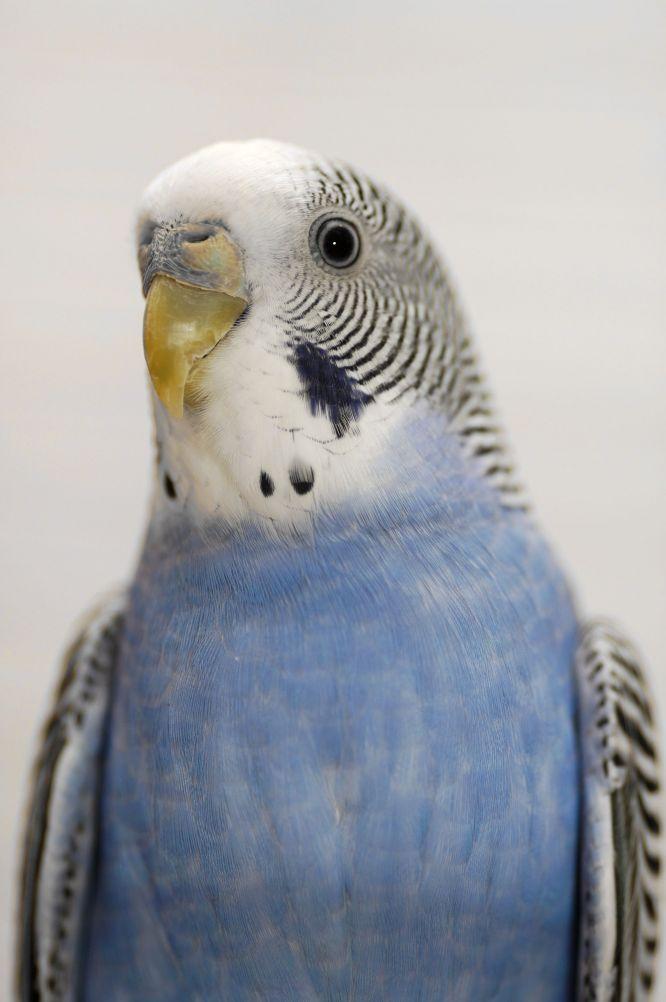 oiseaux(perruche)