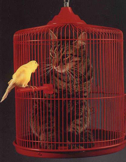 oiseaux (canaris)